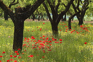 Almond trees (Prunus dulcis) and poppies in Lerida, Spain  -  Juan Manuel Borrero