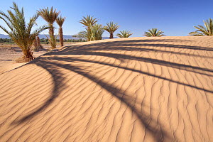 Palms casting long shadows on the dunes in Dr�a Valley, Morocco December 2007  -  Juan Manuel Borrero