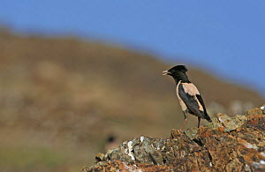 Rose coloured starling (Sturnus roseus) perched on a rock. Xinjiang Province, north-west China. June 2006  -  George Chan