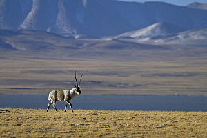 A male Tibetan antelope / chiru (Pantholops hodgsonii) in the Chang Tang nature reserve of central Tibet during the rutting season. December 2006 - George Chan