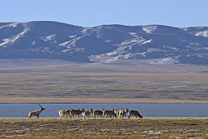 A male Tibetan antelope / Chiru (Pantholops hodgsonii) guarding his female harem in the Chang Tang nature reserve of central Tibet during the rutting season. December 2006 - George Chan