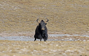 Wild Yak (Bos mutus) in the Chang Tang Nature Reserve of central Tibet. December 2006  -  George Chan