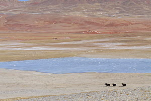Wild Yaks (Bos mutus) beside a lake in the Chang Tang Nature Reserve of central Tibet. December 2006  -  George Chan