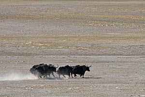 Herd of Wild Yaks (Bos grunniens) running across the Chang Tang Nature Reserve of central Tibet. December 2006  -  George Chan