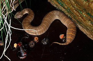 Rugose Death Adder (Acanthophis rugosus) female giving birth, live neonatal babies break out of their amniotic sacs, Darwin, Northern Territory, Australia  -  Robert Valentic