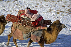 A Kazakh baby sleeps on the back of a camel, as its family follows ancient migration routes bringing their possessions and livestock down from the Altai mountains of Xinjiang Province, north-west Chin...  -  George Chan