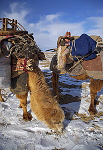 Camels stop for a rest, one carrying a small child, as a Kazakh family follows ancient migration routes, bringing their possessions and livestock down from the Altai mountains of Xinjiang Province, no...  -  George Chan