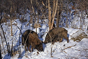 Wild boar (Sus scrofa) foraging in the forests of Heilongjiang province, north-east China, in winter. January 2007  -  George Chan