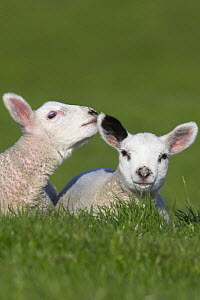 Two Lambs in field being affectionate, Dorset, UK  -  Peter Lewis