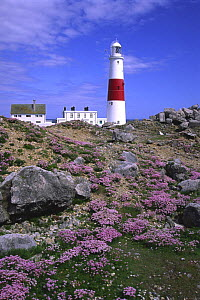 Portland Bill Lighthouse with Sea Thrift, May, Dorset, UK  -  Peter Lewis