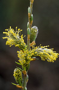 Catkin of Willow {Salix sp} with flowers and buds in stages of development, Scotland, UK  -  Niall Benvie