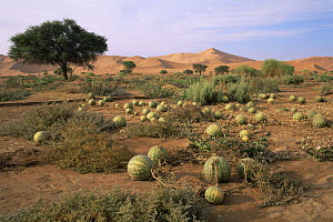 Field of Tsamma / water melons {Citrullus lanatus} growing in the Namib desert after the flood of 1997, Sossusvlei, Namibia - Francois Savigny