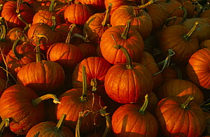 Crop of harvested Pumpkins {Cucurbita maxima} USA  -  Larry Michael