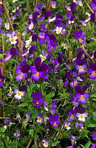 Wild pansy {Viola tricolor} and Field pansy {Viola arvensis} flowering in field, Scotland, UK  -  Brian Lightfoot