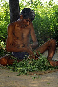 Villager rubbing Bhang leaves {Cannabis sativa} in his hands, preparing the drug for use as an intoxicant, Delhi, India - Ashok Jain