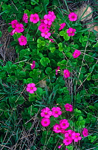 Wood sorrel {Oxalis acetosella} in flower, pink morph Spain - Jose B.  Ruiz