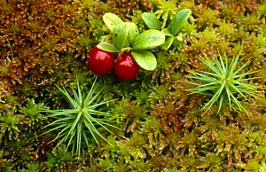 Red whortleberry / Cowberry {Vaccinium vitis-idaea} growing amongst sphagnum moss, Scotland, UK - Duncan Mcewan