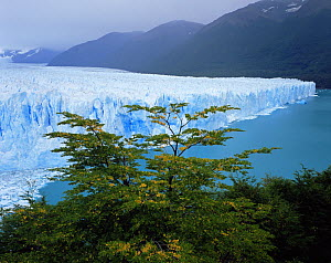 Moreno Glacier viewed through Southern beech trees (Nothofagus sp), Glaciers National Park, Argentina  -  Jack Dykinga