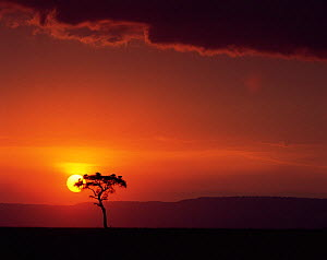 Sun setting behind an Acacia tree with vultures roosting in its canopy. Masai Mara, Kenya  -  Jack Dykinga