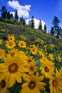 Arnica {Arnica sp} flowering on hillside, Okanagan valley, British Columbia, Canada - Louis Gagnon