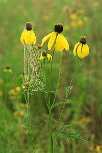 Prairie coneflower {Ratibida pinnata} with cobweb over flowers, USA  -  Larry Michael