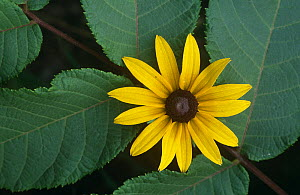 Black eyed susan {Rudbeckia hirta} leaves and flower, USA - Niall Benvie