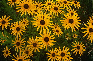 Black eyed susan {Rudbeckia hirta} flowers, USA - Larry Michael