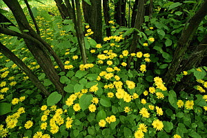 Great leopard's bane {Doronicum pardlianches} flowering in woodlands, Ayrshire, Scotland, UK  -  Niall Benvie