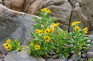 Beach groundsel {Senecio pseudoarnica} flowering on the coast, St Lawrence Gulf, Quebec, Canada  -  Jose Schell