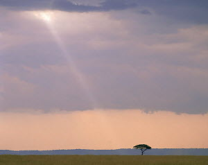 Ray of light falling on a lone Acacia tree in the Masai Mara, Kenya  -  Jack Dykinga