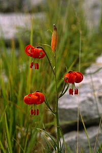 Red Lily flowers {Lilium pomponium} Maritime Alps, France - Martin Dohrn