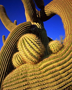 Close-up of the twisted limbs of a freeze-damaged Saguaro Cactus (Carnegiea gigantea), with new limbs emerging. Sonoran Desert National Monument, Arizona  -  Jack Dykinga