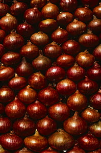 Onions {Allium cepa} packed together for sale, Port Louis Market, Mauritius  -  Nick Garbutt