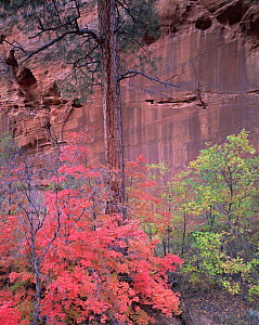 Ponderosa pines (Pinus ponderosa) and Big tooth maples (Acer grandidentatum) against the cliffs of a sandstone slot canyon in Zion National Park, Utah  -  Jack Dykinga