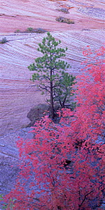 Ponderosa pines (Pinus ponderosa) and Big tooth maples (Acer grandidentatum) against the patterned rocks of sandstone terraces in Zion National Park, Utah  -  Jack Dykinga