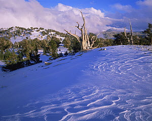 Snow covered ridge and ancient Bristlecone pines (Pinus longaeva) in Inyo National Forest, California - Jack Dykinga