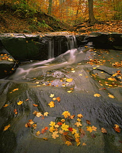 Sugar Maple (Acer saccharum) and American Beech leaves (Fagus grandifolia) on a small waterfall above Blue Hen Falls in Cuyahoga Valley National Park, Ohio  -  Jack Dykinga