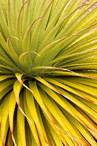 Looking down into the leaves of a Puya plant {Puya raimondii} Bolivia  -  Pete Oxford