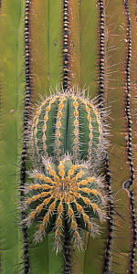 Cardon cactus (Pachycerus pringlei) with emerging limbs, Central Desert, Baja California, Mexico  -  Jack Dykinga