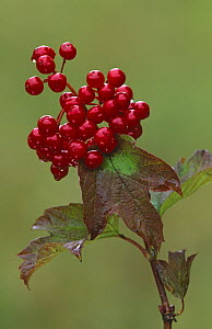 Guelder rose {Viburnum opulus} berries, Derbyshire, UK - Geoff Scott-Simpson
