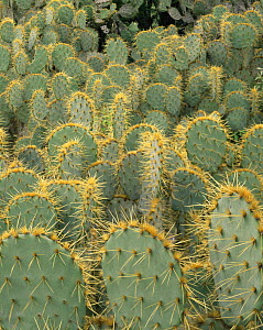 Dense stands of Prickly pear cactus (Opuntia sp) in Tamaulipas, Mexico  -  Jack Dykinga