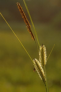 Bottle / Beaked sedge {Carex rostrata} male and female flowers, Scotland, UK - Duncan Mcewan