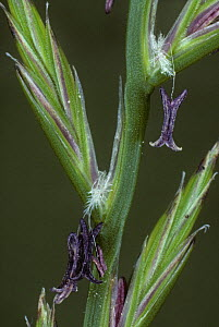 Perennial rye grass {Lolium perenne} close up of flowers showing stamens, Scotland, UK - Duncan Mcewan