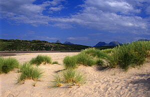 Marram grass {Ammophila arenaria} growing on sand dunes, Achnahaird, Scotland, UK - Duncan Mcewan