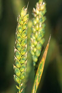 Close up of seed head of Wheat {Triticum aestivum} UK  -  Georgette Douwma