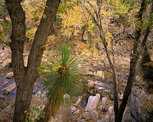 Soaptree yucca (Yucca elata) plant and oaks (Quercus sp) on the rocky banks of a stream in San Isidro Canyon, Maderas del Carmen Natural Reserve, Mexico  -  Jack Dykinga