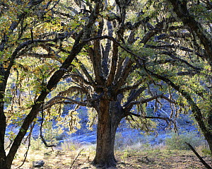 Oak tree (Quercus sp) in the San Isidro Canyon, Maderas del Carmen Natural Preserve, Coahuila, Mexico  -  Jack Dykinga