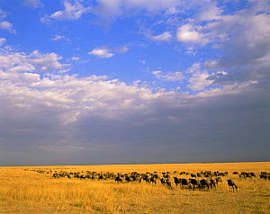 White-bearded Wildebeest migrating across grassland, against a stormy sky. Masai Mara National Reserve, Kenya - Jack Dykinga