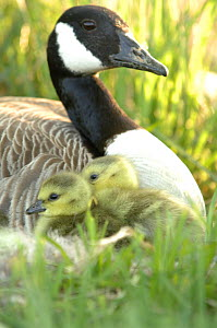 Canada goose (Branta canadensis) with two chicks / goslings in tall grasses, Walthamstow reservoir, London, UK  -  Laurent Geslin