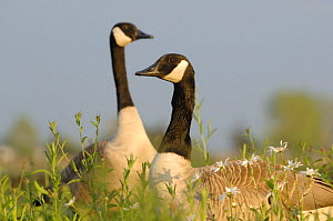Two Canada geese (Branta canadensis) amongst grass and flowers. Walthamstow reservoir, London, UK  -  Laurent Geslin